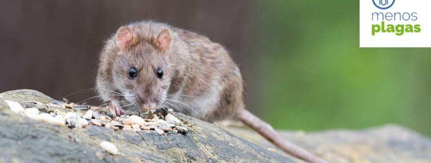 ratas en alicante
